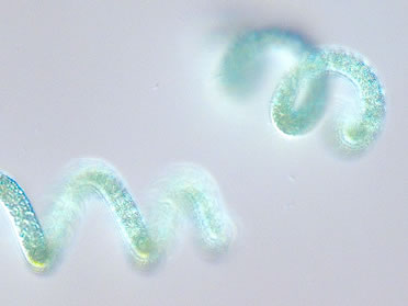 Arthrospira platensis
